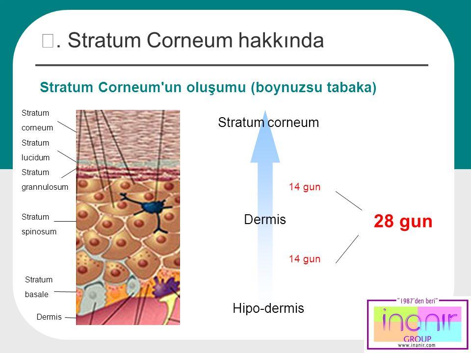 Stratum Corneum'un oluşumu (boynuzsu tabaka) Stratum corneum Stratum lucidum Stratum grannulosum Stratum spinosum Stratum basale Dermis Stratum corneu