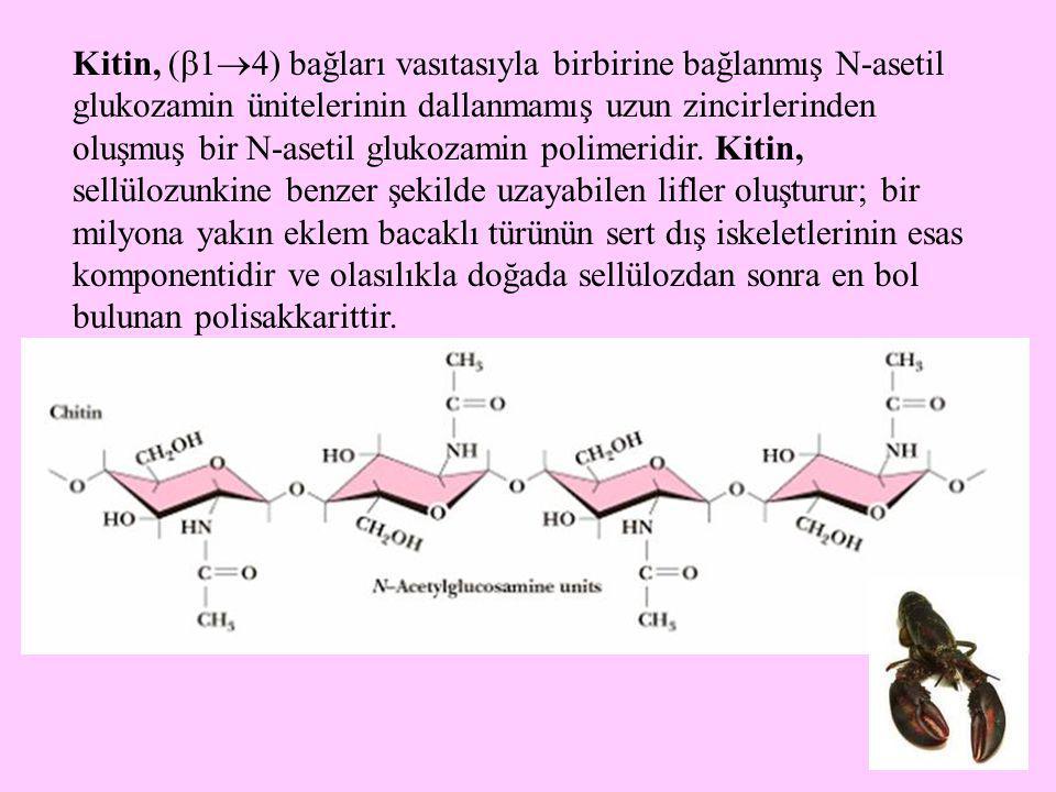 17 Kitin, (  1  4) bağları vasıtasıyla birbirine bağlanmış N-asetil glukozamin ünitelerinin dallanmamış uzun zincirlerinden oluşmuş bir N-asetil glu