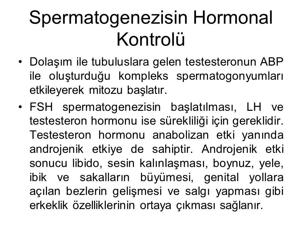 Spermatogenezisin Hormonal Kontrolü Dolaşım ile tubuluslara gelen testesteronun ABP ile oluşturduğu kompleks spermatogonyumları etkileyerek mitozu baş