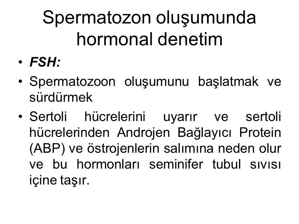 Spermatozon oluşumunda hormonal denetim FSH: Spermatozoon oluşumunu başlatmak ve sürdürmek Sertoli hücrelerini uyarır ve sertoli hücrelerinden Androje