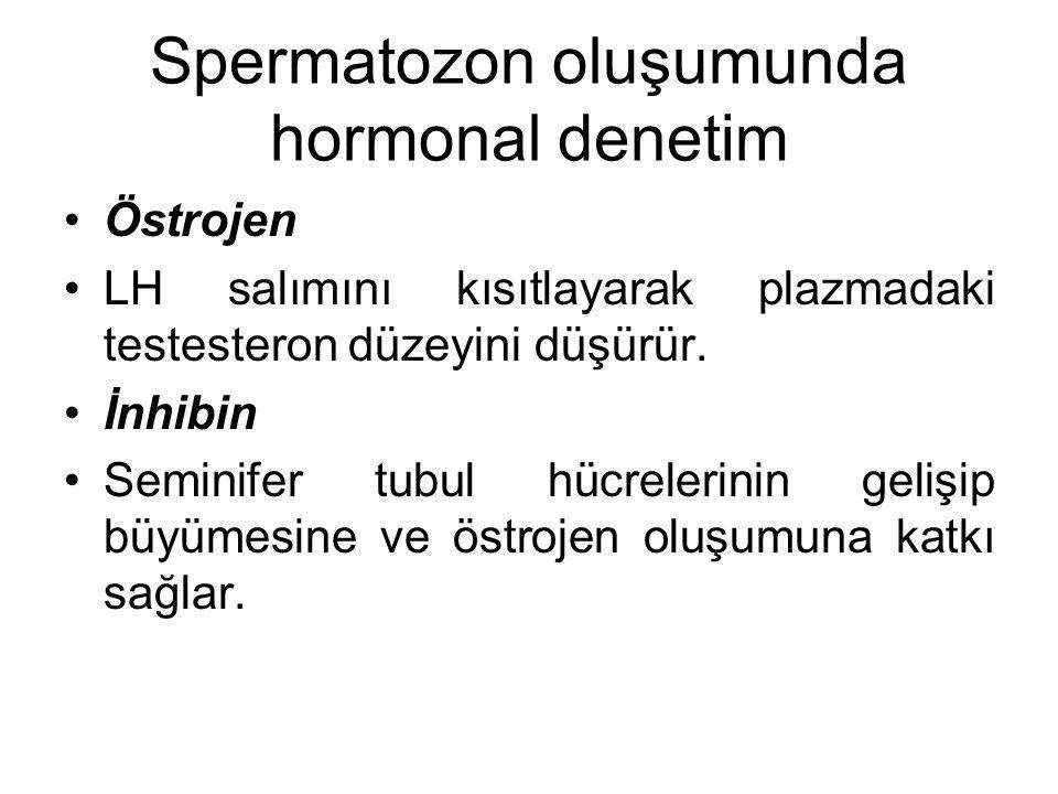 Spermatozon oluşumunda hormonal denetim Östrojen LH salımını kısıtlayarak plazmadaki testesteron düzeyini düşürür. İnhibin Seminifer tubul hücrelerini