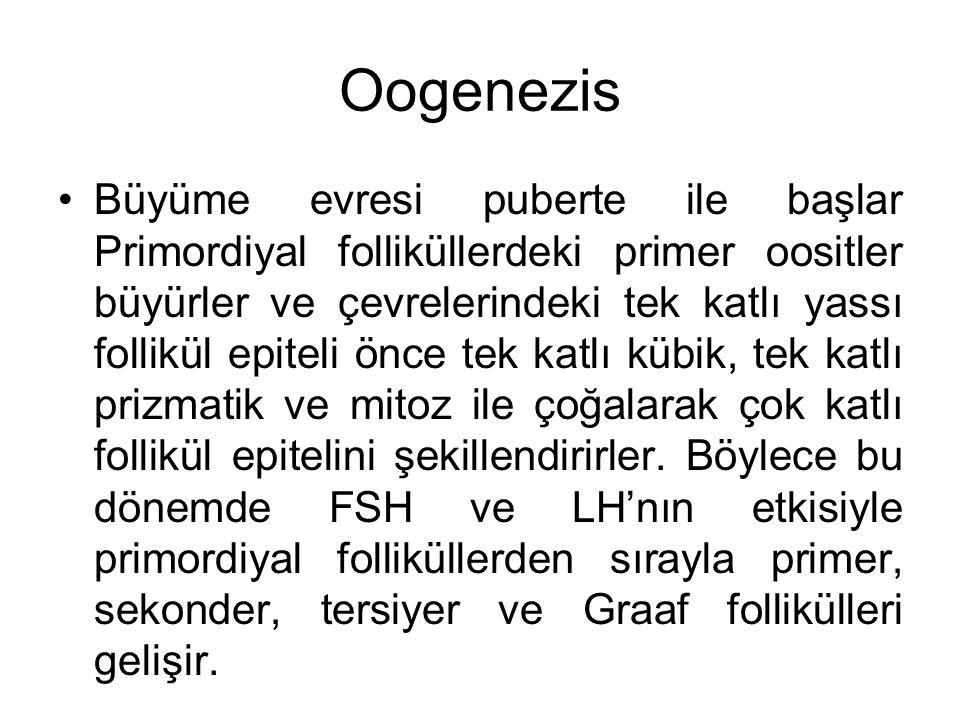 Oogenezis Büyüme evresi puberte ile başlar Primordiyal folliküllerdeki primer oositler büyürler ve çevrelerindeki tek katlı yassı follikül epiteli önc