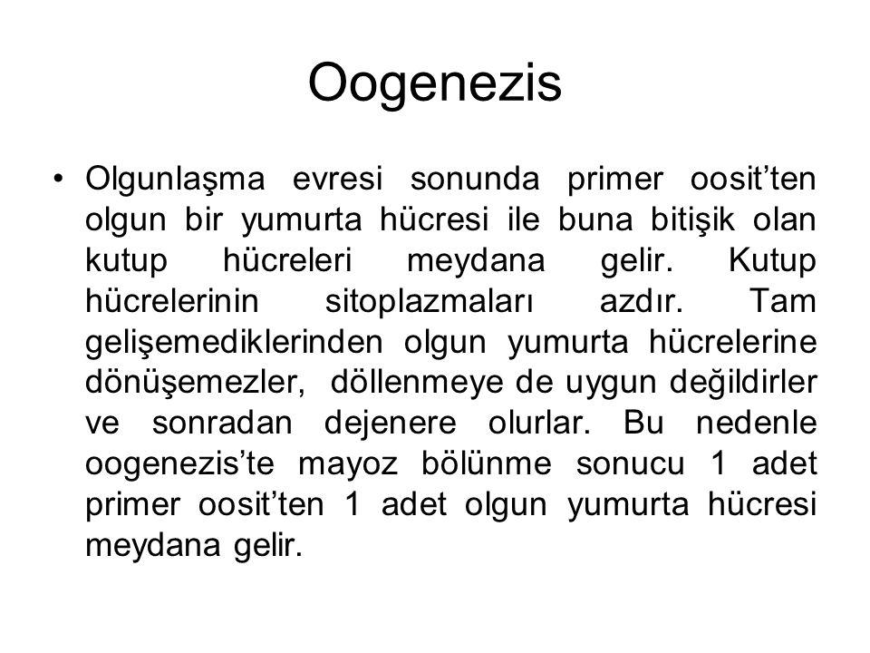 Oogenezis Olgunlaşma evresi sonunda primer oosit'ten olgun bir yumurta hücresi ile buna bitişik olan kutup hücreleri meydana gelir. Kutup hücrelerinin