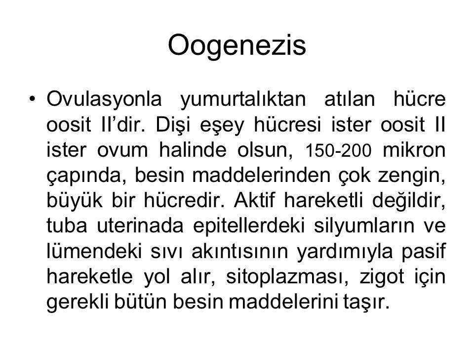 Oogenezis Ovulasyonla yumurtalıktan atılan hücre oosit II'dir. Dişi eşey hücresi ister oosit II ister ovum halinde olsun, 150-200 mikron çapında, besi