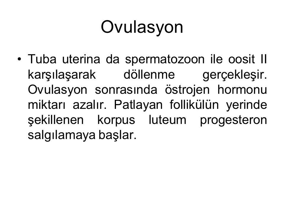 Ovulasyon Tuba uterina da spermatozoon ile oosit II karşılaşarak döllenme gerçekleşir. Ovulasyon sonrasında östrojen hormonu miktarı azalır. Patlayan