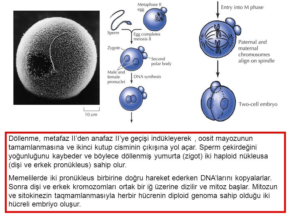 Döllenme, metafaz II'den anafaz II'ye geçişi indükleyerek, oosit mayozunun tamamlanmasına ve ikinci kutup cisminin çıkışına yol açar. Sperm çekirdeğin