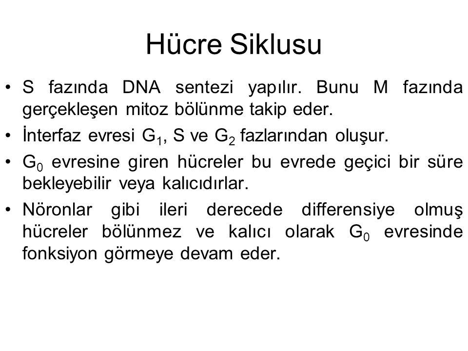 Hücre Siklusu S fazında DNA sentezi yapılır. Bunu M fazında gerçekleşen mitoz bölünme takip eder. İnterfaz evresi G 1, S ve G 2 fazlarından oluşur. G