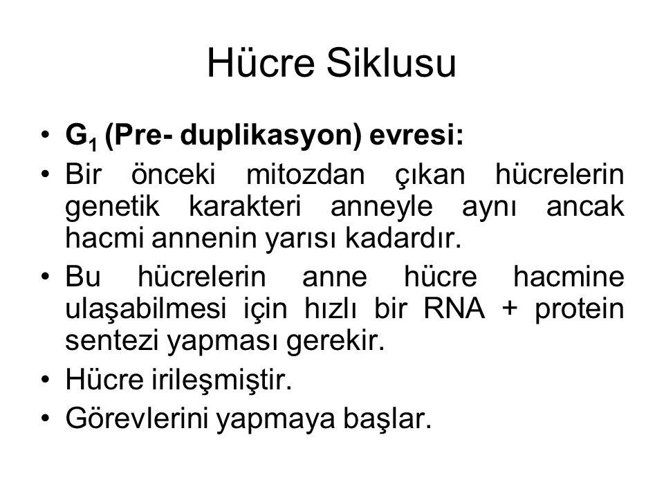 Hücre Siklusu G 1 (Pre- duplikasyon) evresi: Bir önceki mitozdan çıkan hücrelerin genetik karakteri anneyle aynı ancak hacmi annenin yarısı kadardır.