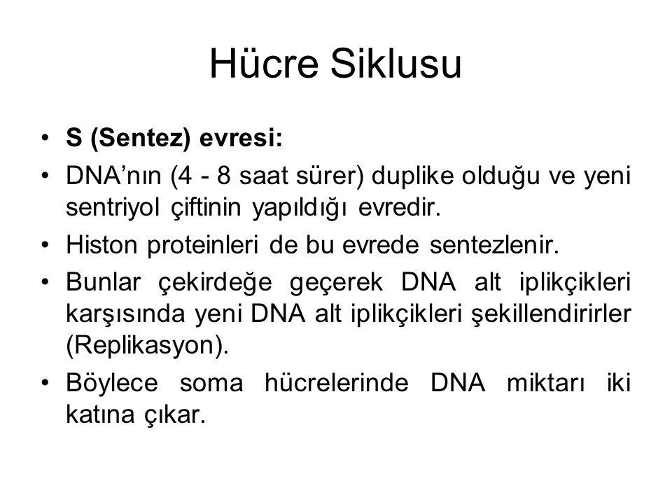 Hücre Siklusu S (Sentez) evresi: DNA'nın (4 - 8 saat sürer) duplike olduğu ve yeni sentriyol çiftinin yapıldığı evredir. Histon proteinleri de bu evre