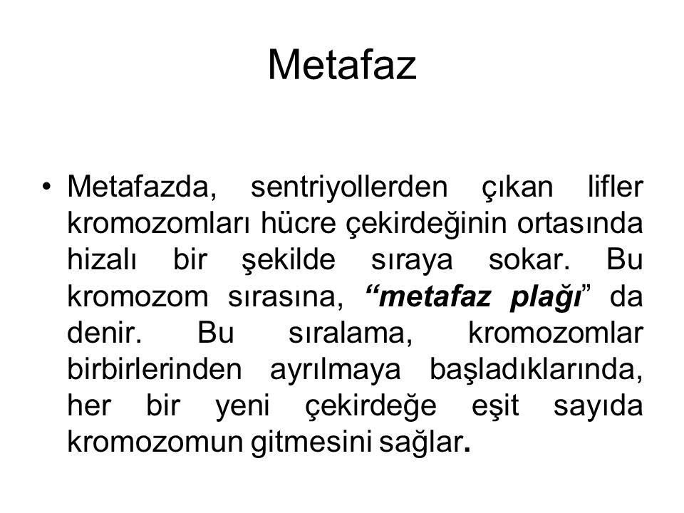 """Metafaz Metafazda, sentriyollerden çıkan lifler kromozomları hücre çekirdeğinin ortasında hizalı bir şekilde sıraya sokar. Bu kromozom sırasına, """"meta"""