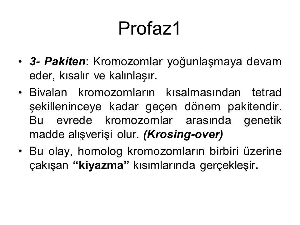 Profaz1 3- Pakiten: Kromozomlar yoğunlaşmaya devam eder, kısalır ve kalınlaşır. Bivalan kromozomların kısalmasından tetrad şekilleninceye kadar geçen