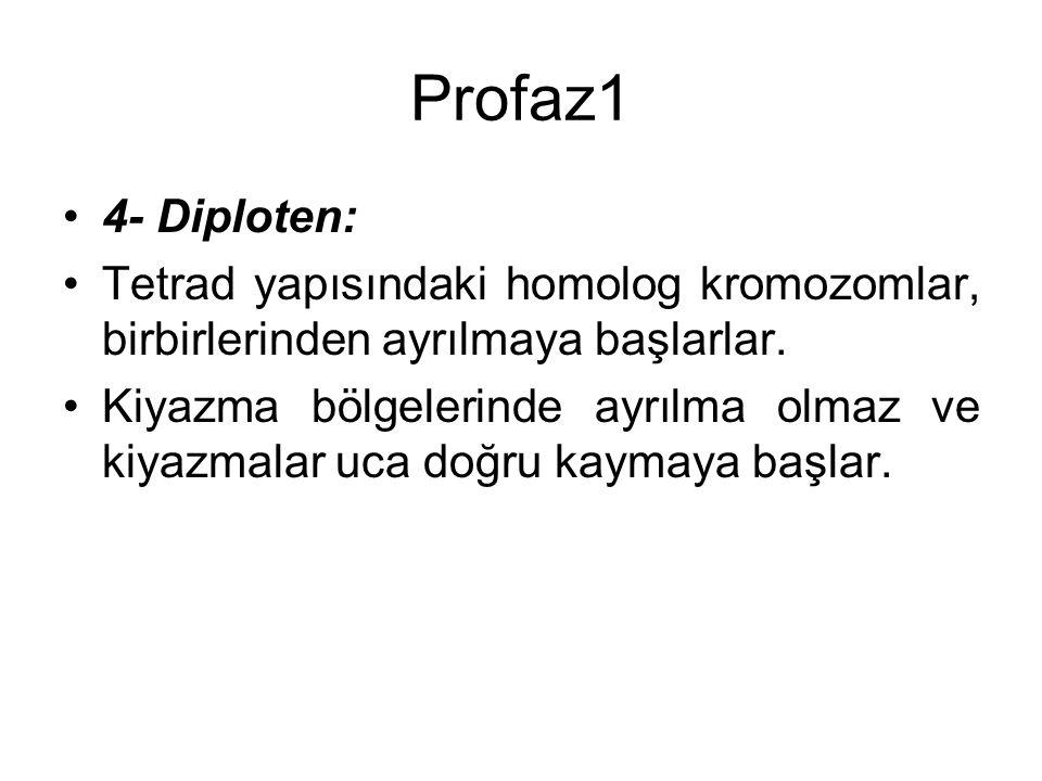 Profaz1 4- Diploten: Tetrad yapısındaki homolog kromozomlar, birbirlerinden ayrılmaya başlarlar. Kiyazma bölgelerinde ayrılma olmaz ve kiyazmalar uca