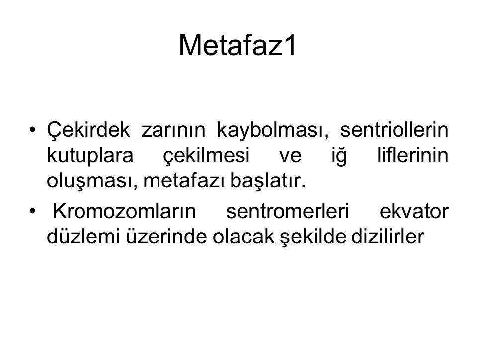 Metafaz1 Çekirdek zarının kaybolması, sentriollerin kutuplara çekilmesi ve iğ liflerinin oluşması, metafazı başlatır. Kromozomların sentromerleri ekva