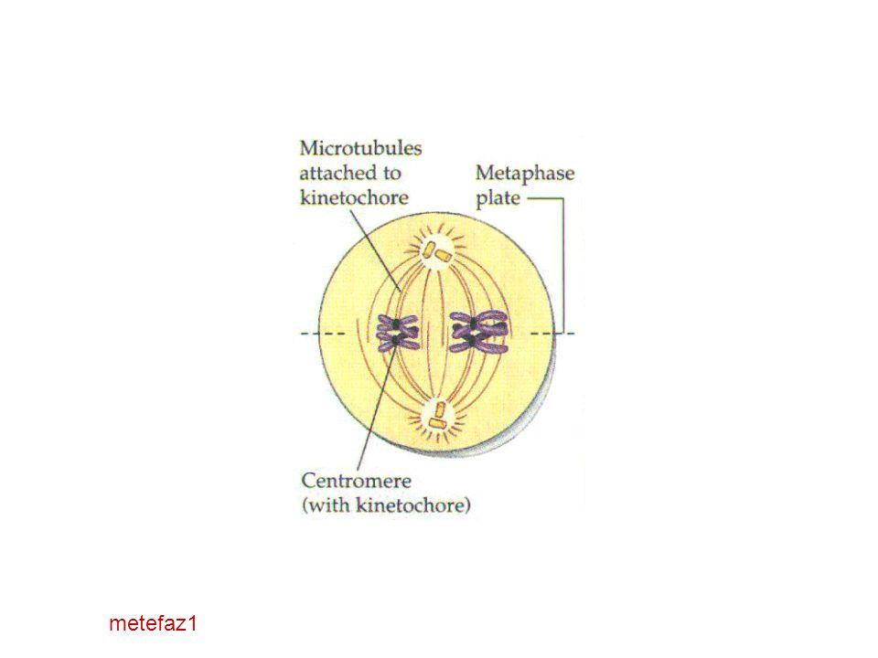 metefaz1