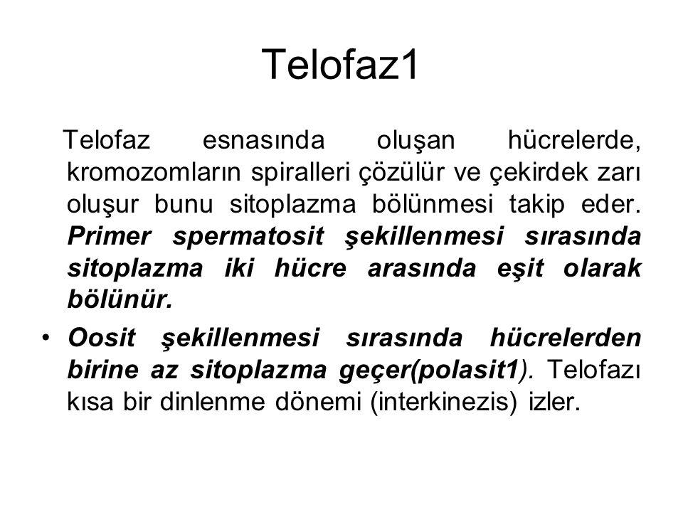 Telofaz1 Telofaz esnasında oluşan hücrelerde, kromozomların spiralleri çözülür ve çekirdek zarı oluşur bunu sitoplazma bölünmesi takip eder. Primer sp
