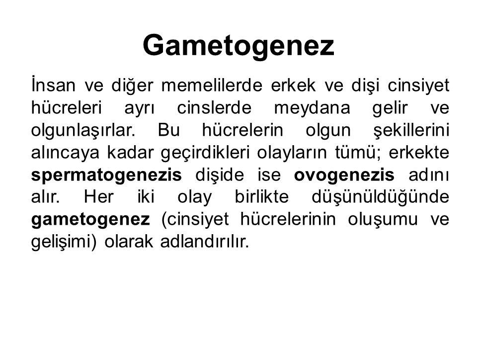 Gametogenez İnsan ve diğer memelilerde erkek ve dişi cinsiyet hücreleri ayrı cinslerde meydana gelir ve olgunlaşırlar. Bu hücrelerin olgun şekillerini