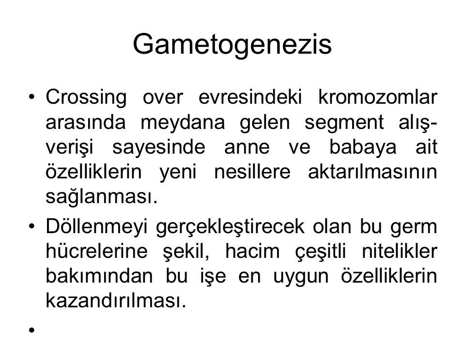 Gametogenezis Crossing over evresindeki kromozomlar arasında meydana gelen segment alış- verişi sayesinde anne ve babaya ait özelliklerin yeni nesille