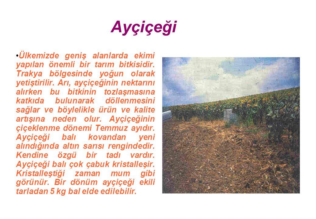 Ayçiçeği Ülkemizde geniş alanlarda ekimi yapılan önemli bir tarım bitkisidir.