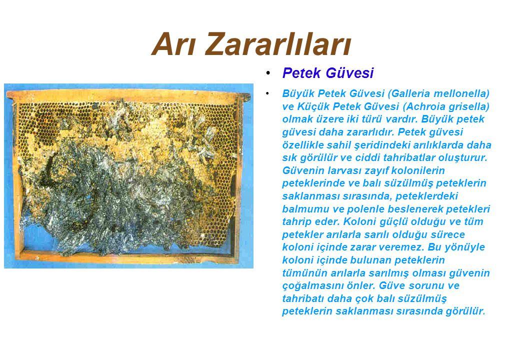 Arı Zararlıları Petek Güvesi Büyük Petek Güvesi (Galleria mellonella) ve Küçük Petek Güvesi (Achroia grisella) olmak üzere iki türü vardır.