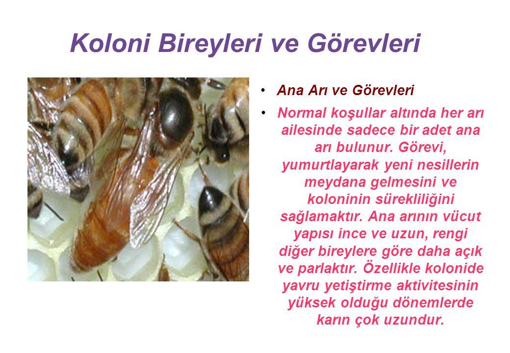 Koloni Bireyleri ve Görevleri Ana Arı ve Görevleri Normal koşullar altında her arı ailesinde sadece bir adet ana arı bulunur.