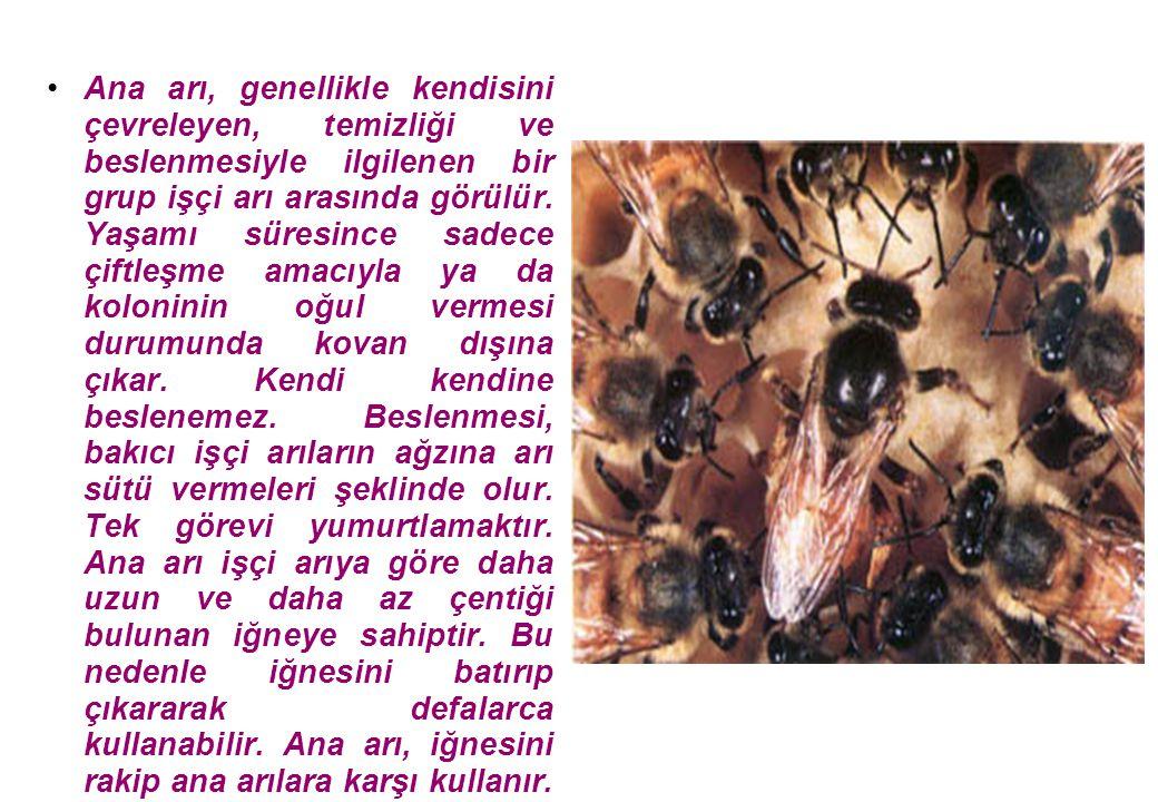 Ana arı, genellikle kendisini çevreleyen, temizliği ve beslenmesiyle ilgilenen bir grup işçi arı arasında görülür.