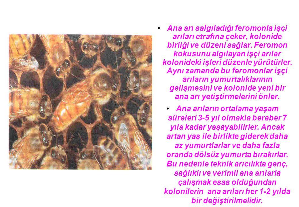 Ana arı salgıladığı feromonla işçi arıları etrafına çeker, kolonide birliği ve düzeni sağlar.