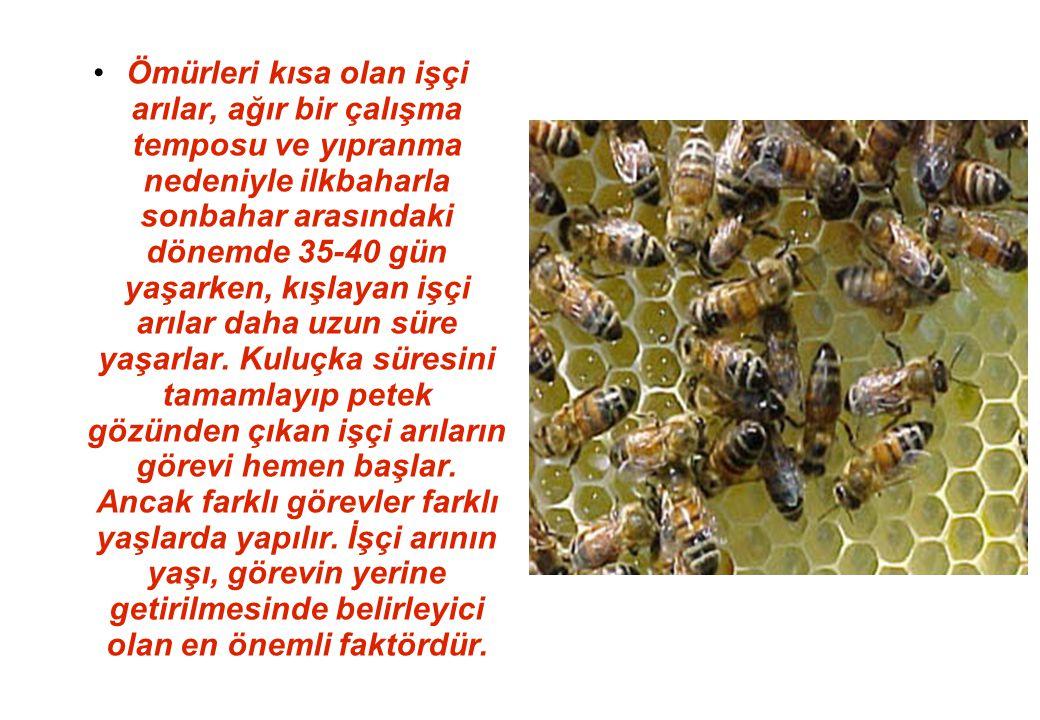 Ömürleri kısa olan işçi arılar, ağır bir çalışma temposu ve yıpranma nedeniyle ilkbaharla sonbahar arasındaki dönemde 35-40 gün yaşarken, kışlayan işçi arılar daha uzun süre yaşarlar.
