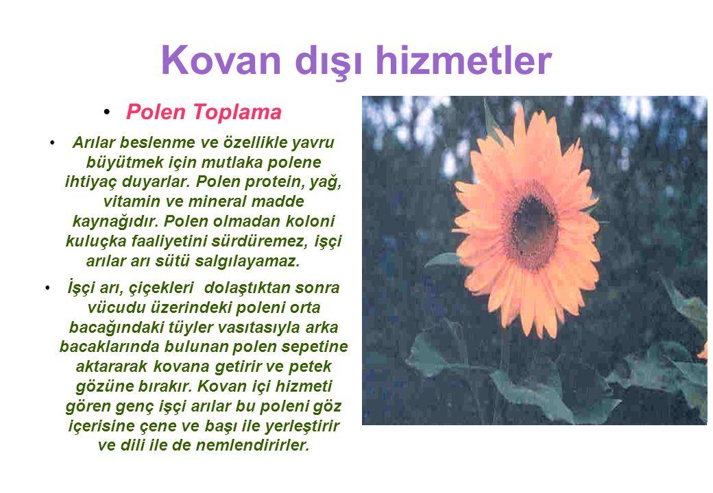 Kovan dışı hizmetler Polen Toplama Arılar beslenme ve özellikle yavru büyütmek için mutlaka polene ihtiyaç duyarlar.
