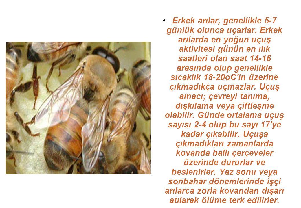 Erkek arılar, genellikle 5-7 günlük olunca uçarlar.