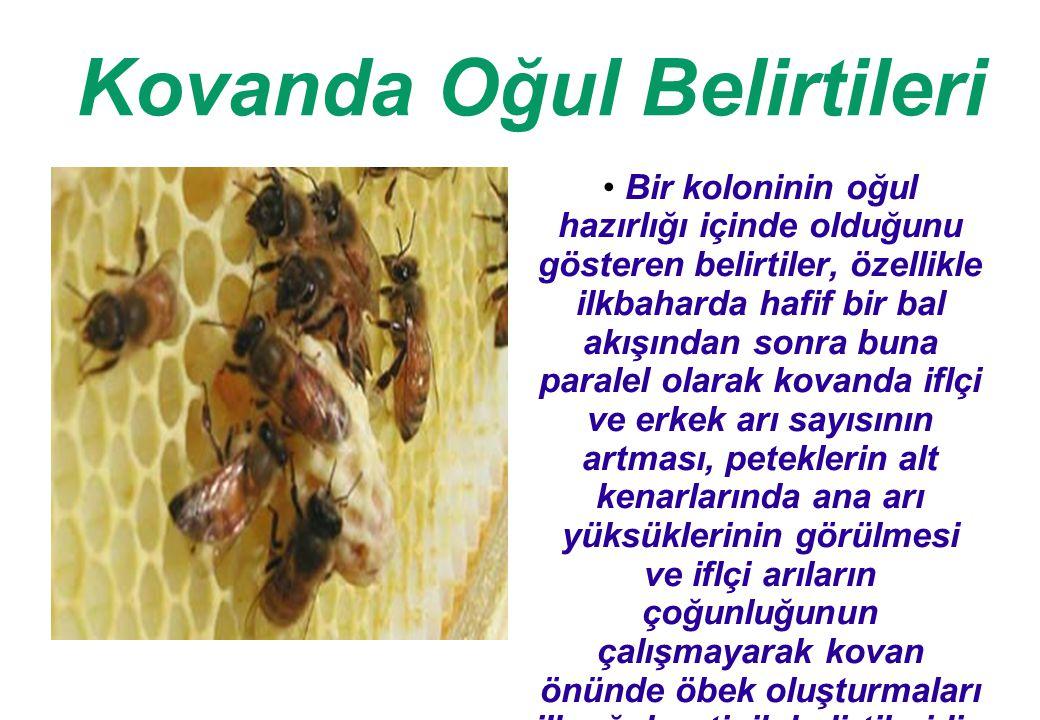 Kovanda Oğul Belirtileri Bir koloninin oğul hazırlığı içinde olduğunu gösteren belirtiler, özellikle ilkbaharda hafif bir bal akışından sonra buna paralel olarak kovanda iflçi ve erkek arı sayısının artması, peteklerin alt kenarlarında ana arı yüksüklerinin görülmesi ve iflçi arıların çoğunluğunun çalışmayarak kovan önünde öbek oluşturmaları ilk oğulun tipik belirtileridir.