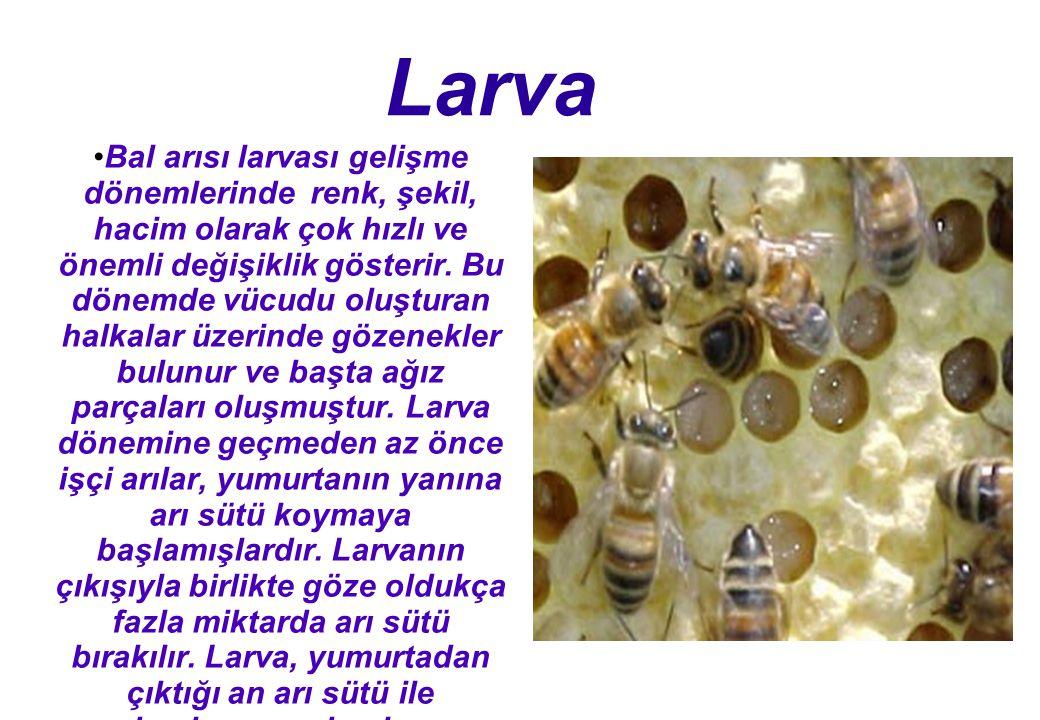 Larva Bal arısı larvası gelişme dönemlerinde renk, şekil, hacim olarak çok hızlı ve önemli değişiklik gösterir.