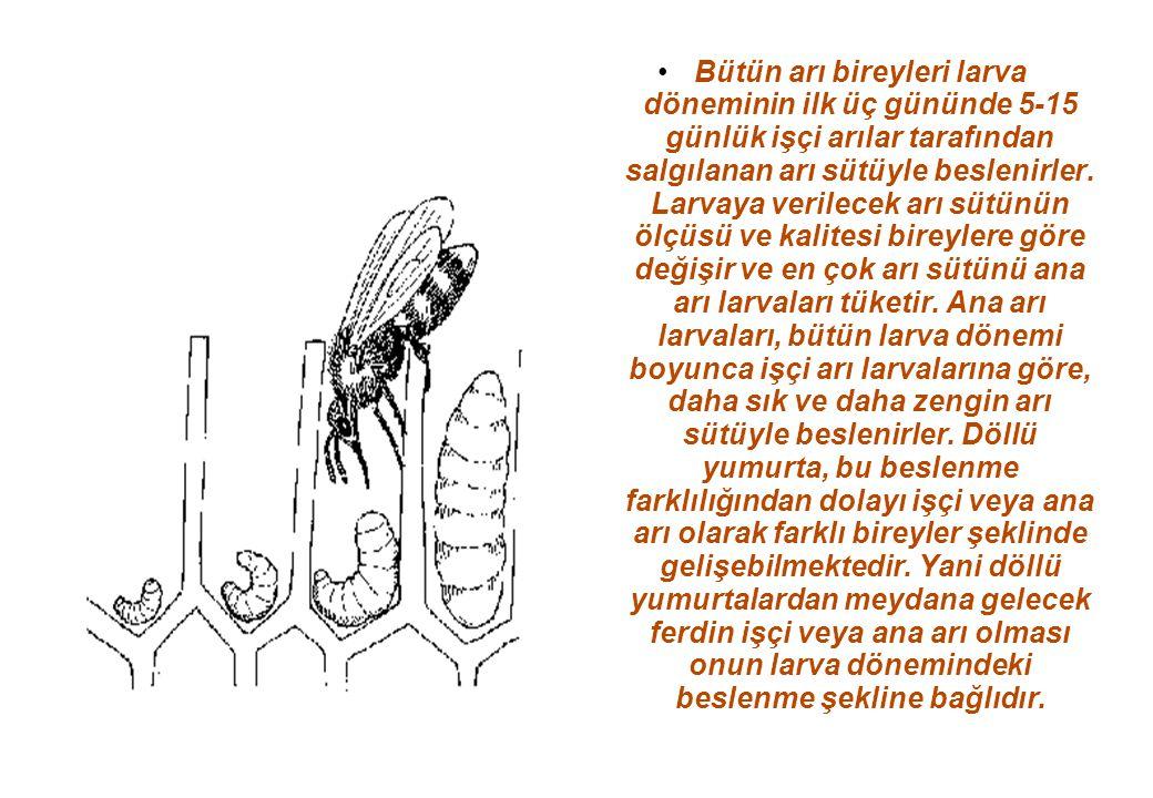 Bütün arı bireyleri larva döneminin ilk üç gününde 5-15 günlük işçi arılar tarafından salgılanan arı sütüyle beslenirler.