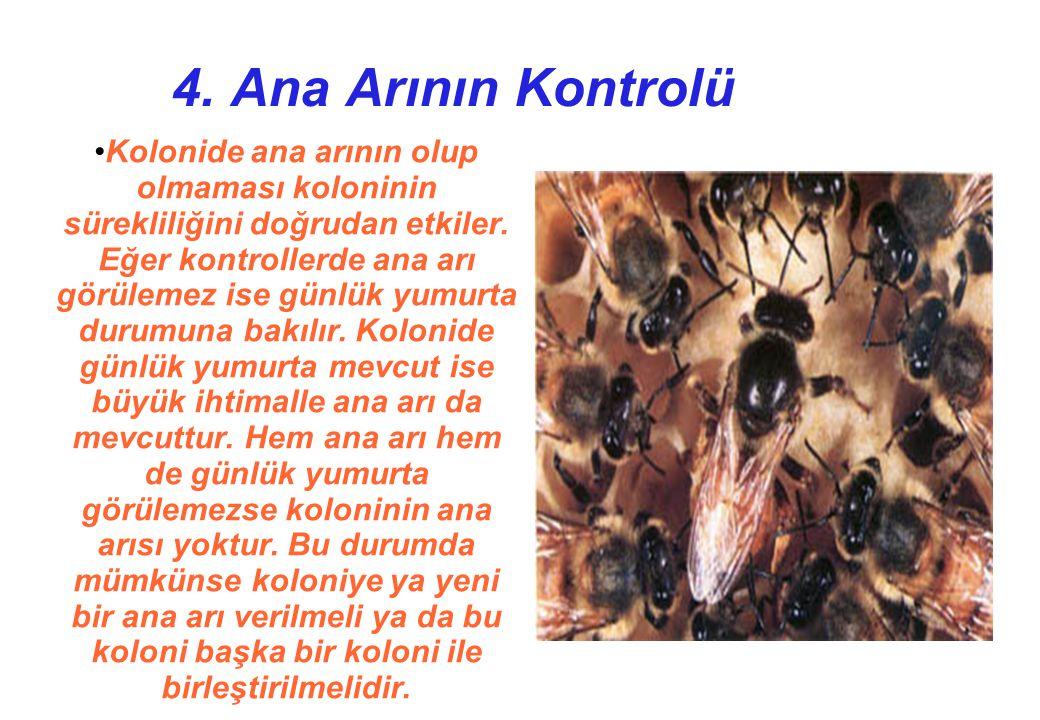4. Ana Arının Kontrolü Kolonide ana arının olup olmaması koloninin sürekliliğini doğrudan etkiler.