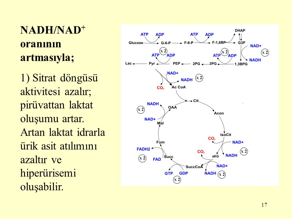 17 NADH/NAD + oranının artmasıyla; 1) Sitrat döngüsü aktivitesi azalır; pirüvattan laktat oluşumu artar. Artan laktat idrarla ürik asit atılımını azal