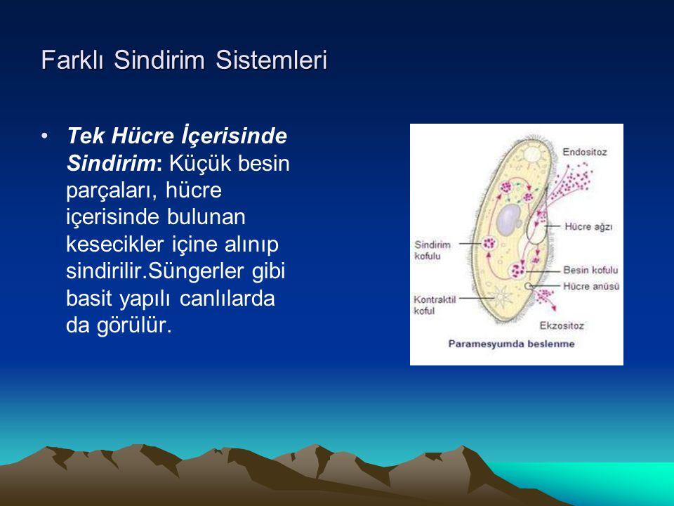 Farklı Sindirim Sistemleri Tek Hücre İçerisinde Sindirim: Küçük besin parçaları, hücre içerisinde bulunan kesecikler içine alınıp sindirilir.Süngerler