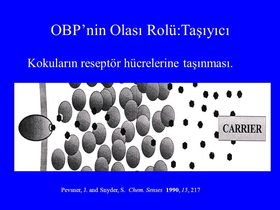OBP'nin Olası Rolü:Taşıyıcı Kokuların reseptör hücrelerine taşınması. Pevsner, J. and Snyder, S. Chem. Senses 1990, 15, 217.