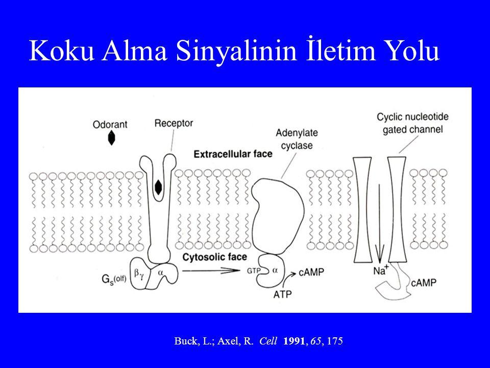 Koku Alma Sinyalinin İletim Yolu Buck, L.; Axel, R. Cell 1991, 65, 175.