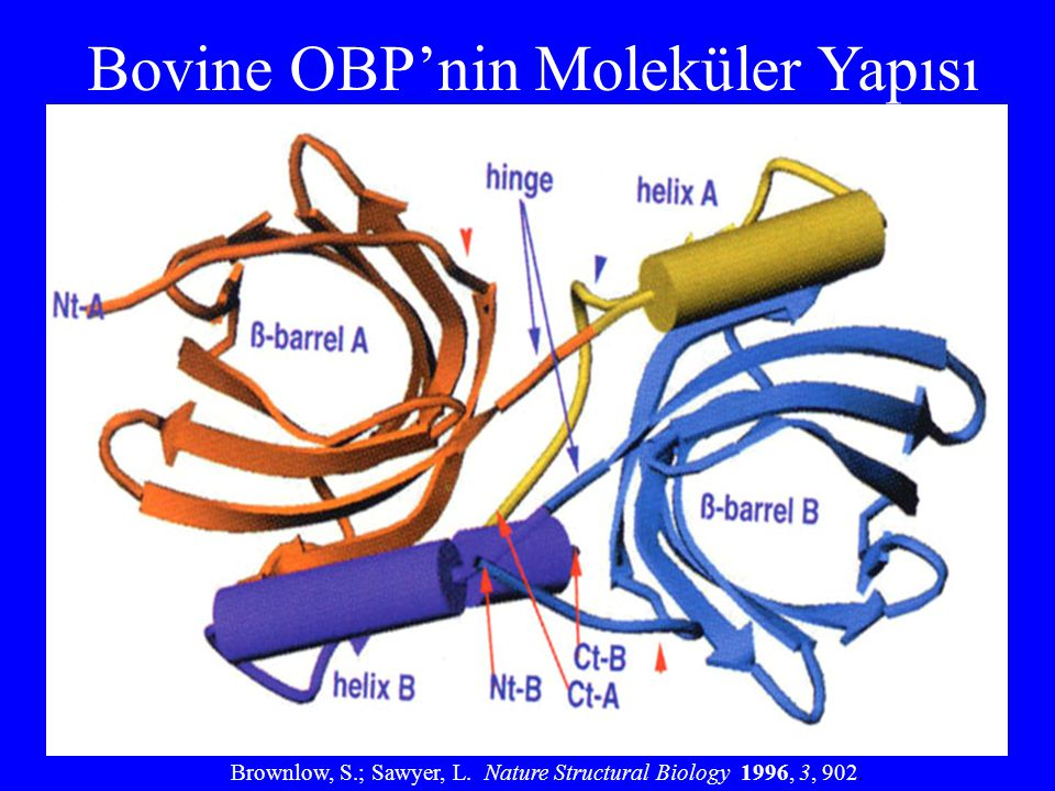 Bovine OBP'nin Moleküler Yapısı Brownlow, S.; Sawyer, L. Nature Structural Biology 1996, 3, 902.