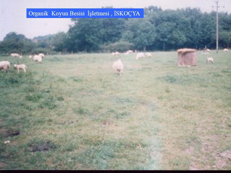 Organik Koyun Besisi İşletmesi, İSKOÇYA