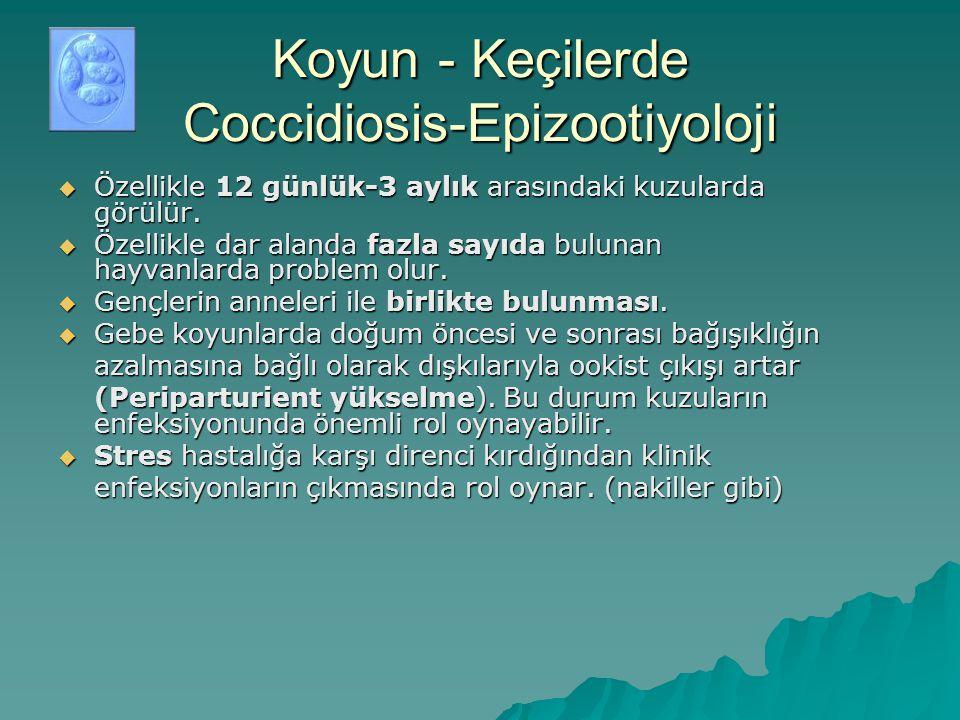 Koyun - Keçilerde Coccidiosis-Epizootiyoloji  Özellikle 12 günlük-3 aylık arasındaki kuzularda görülür.