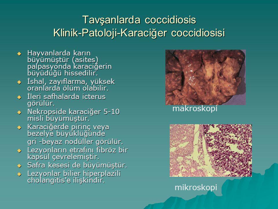 Tavşanlarda coccidiosis Klinik-Patoloji-Karaciğer coccidiosisi  Hayvanlarda karın büyümüştür (asites) palpasyonda karaciğerin büyüdüğü hissedilir.