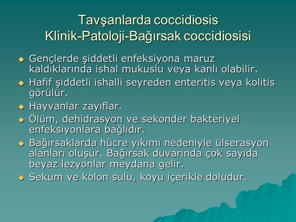 Tavşanlarda coccidiosis Klinik-Patoloji-Bağırsak coccidiosisi  Gençlerde şiddetli enfeksiyona maruz kaldıklarında ishal mukuslu veya kanlı olabilir.