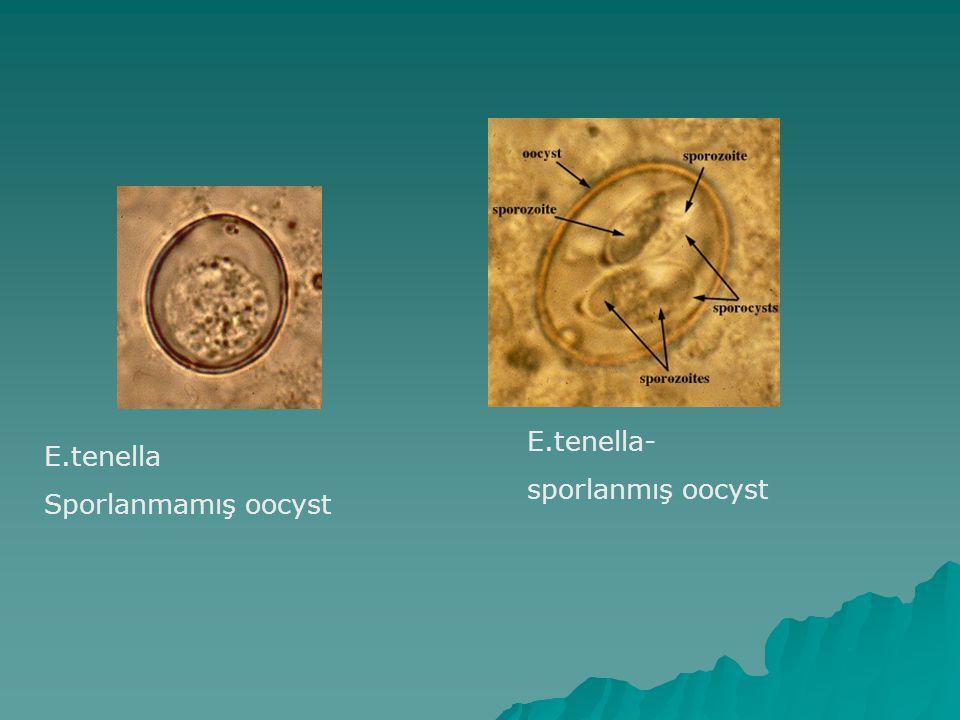 E.tenella Sporlanmamış oocyst E.tenella- sporlanmış oocyst