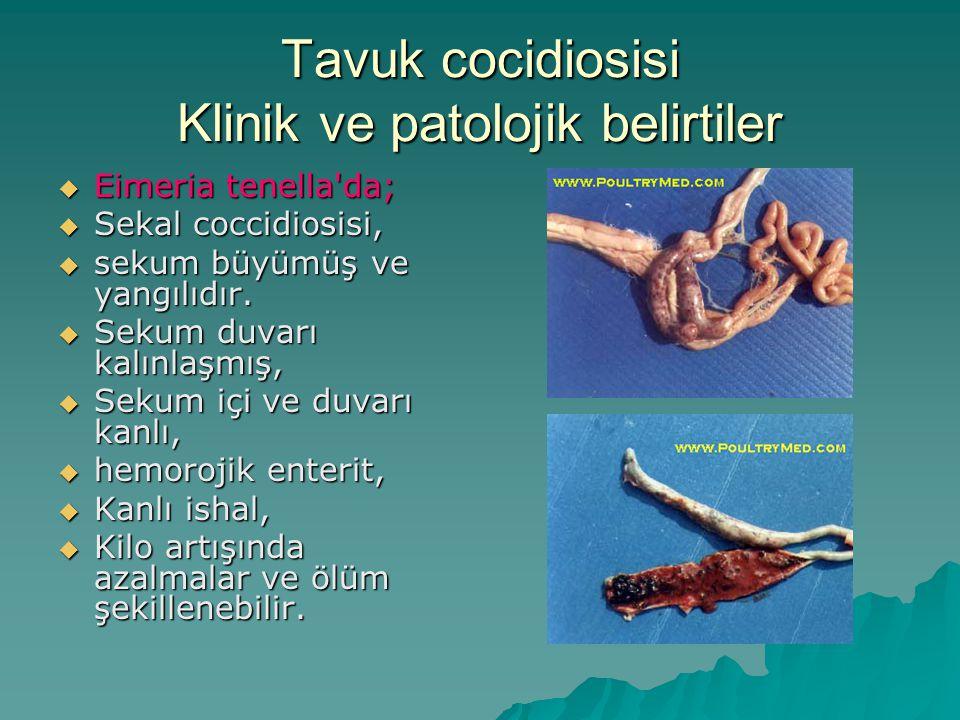 Tavuk cocidiosisi Klinik ve patolojik belirtiler  Eimeria tenella da;  Sekal coccidiosisi,  sekum büyümüş ve yangılıdır.