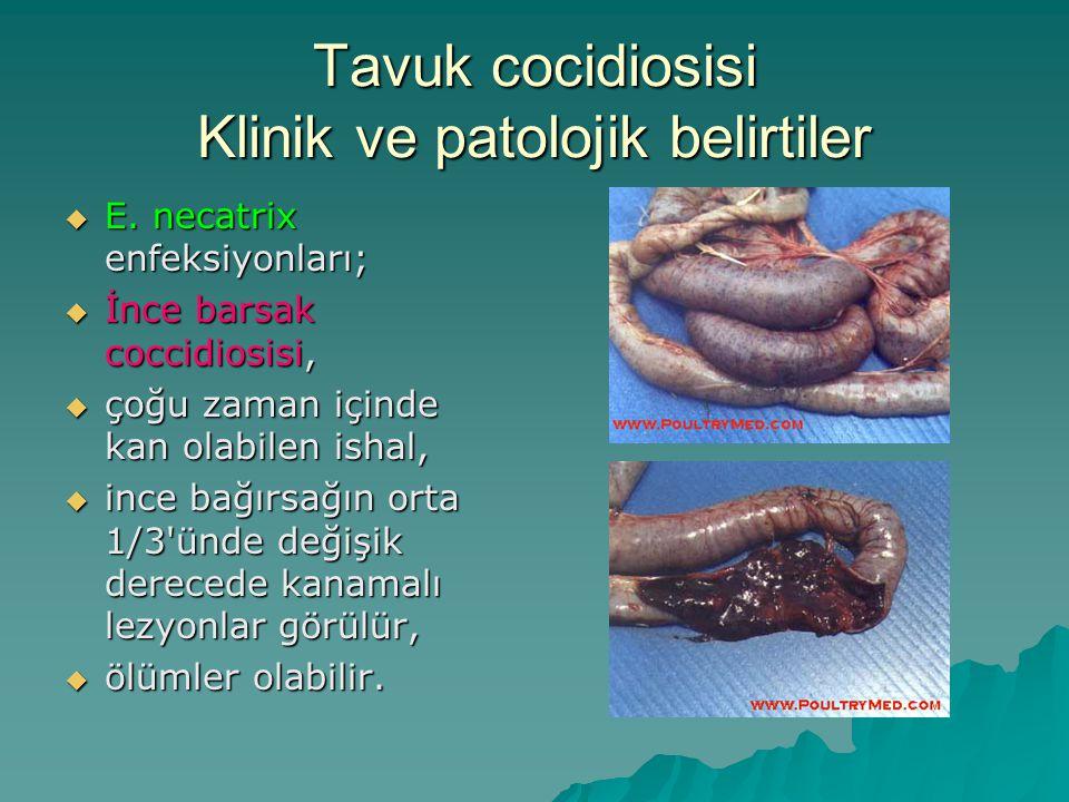 Tavuk cocidiosisi Klinik ve patolojik belirtiler  E.