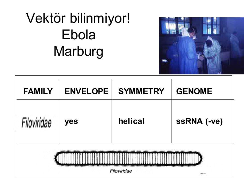 Vektör bilinmiyor! Ebola Marburg FAMILYENVELOPE yes SYMMETRY helical GENOME ssRNA (-ve)
