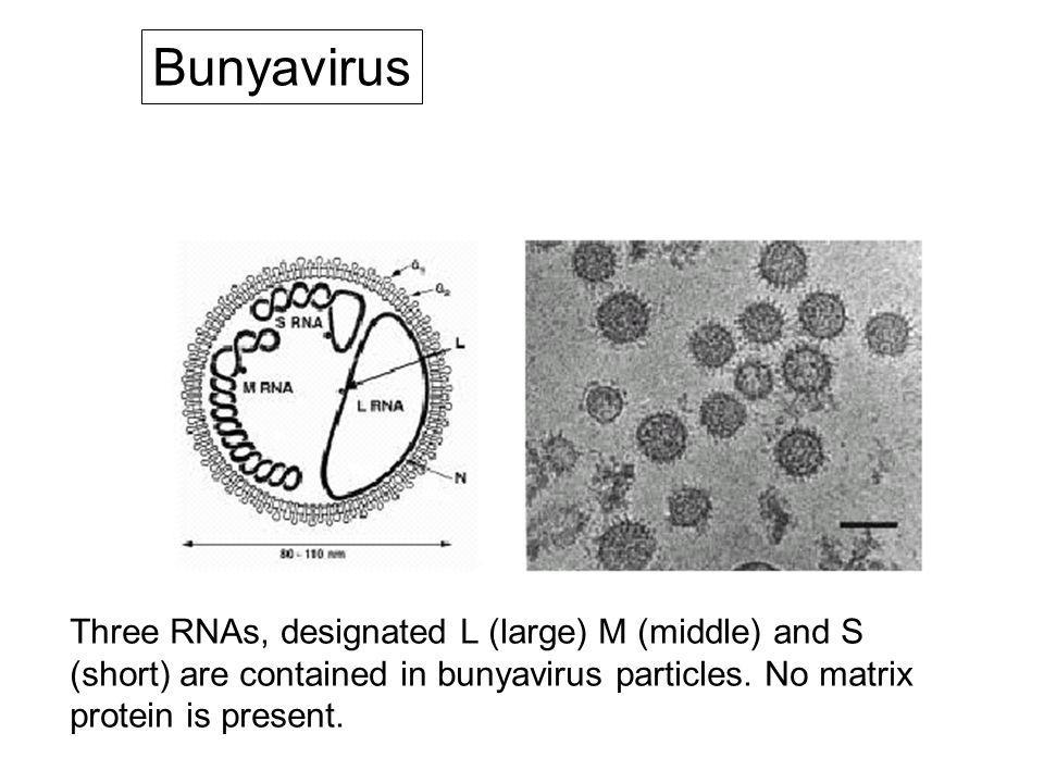 Bunyaviridae ailesi Çok geniş bir aile Tüm üyeleri vektörlerdeçoğalabilir fakat bu vektörler için patojenik değil Vektörler ve vahşi hayvanlar arasında doğal bulaş sürmekte.