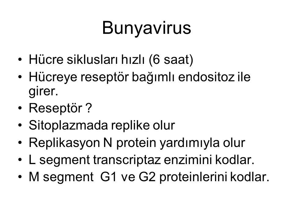 Replication of bunyaviruses is cytoplasmic; there is no nuclear component.