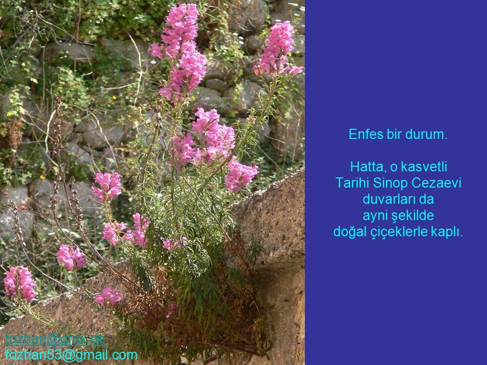 Enfes bir durum. Hatta, o kasvetli Tarihi Sinop Cezaevi duvarları da ayni şekilde doğal çiçeklerle kaplı. fozhan@gmx.de fozhan53@gmail.com