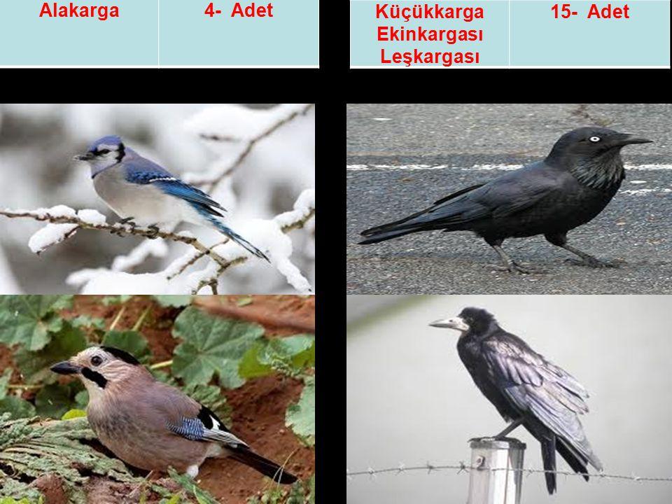 Alakarga4- Adet Küçükkarga Ekinkargası Leşkargası 15- Adet